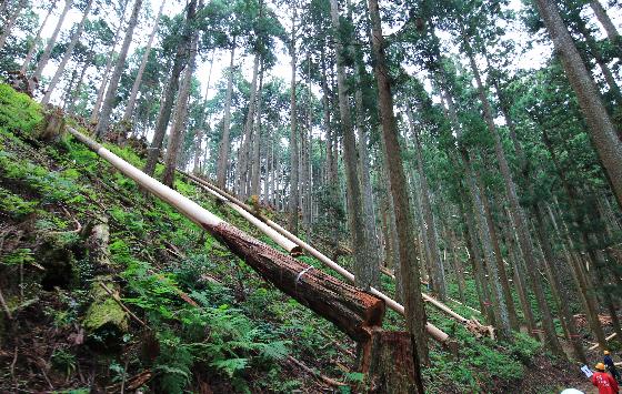 日本三大美林の一つで、最高級ブランド材としても名高い吉野杉・吉野桧